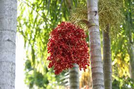 Palm Trees Fruit - nature