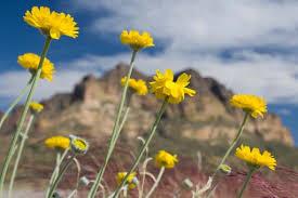 arizona flowers wildflowers in arizona