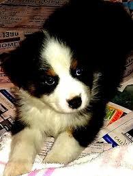 raising an australian shepherd 87 best puppies for sale australian shepherd puppies images on