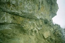 snow leopard dna test uses animal s own poo to solve conservation
