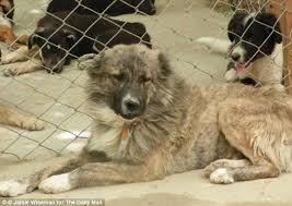 afghan hound lady and the tramp abused afghan dog wylie found a new life and a loving owner in the