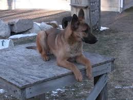 belgian sheepdog puppy cost belgian malinois german shepherds for sale