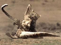 Timsahla Aslanın Ölüm Dövüşü İzle