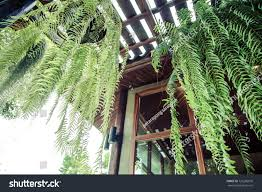 boston fern very popular house plantoften stock photo 725286670