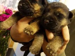 belgian sheepdog puppies for sale uk german shepherd dogs and puppies for sale in the uk pets4homes