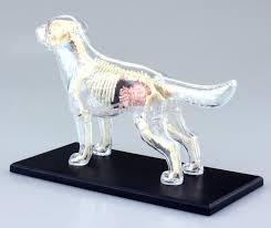 Dog Body Parts Anatomy Online Shop 4d Master Vision Medical Dog Anatomy Model Full