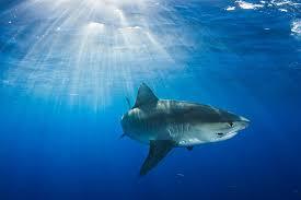 maui death raises questions about spike in hawaiian shark attacks