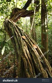 Plants That Grow In Tropical Rainforests Liana Growing Tropical Rainforest Peruvian Amazon Stock Photo