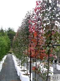 capital ornamental pear grows to about 7m and 4m wide a