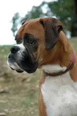 boxer dog training tips dog training tips what are the top two basic dog obedience