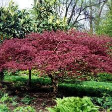 bloodgood japanese maple tree nature nursery