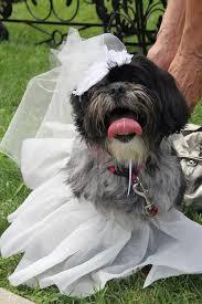 affenpinscher a donner 13 minnesota dogs celebrating tongueouttuesday sidewalk dog