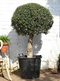 large headed standard olive trees for sale