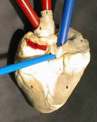 External Heart Anatomy Anatomy And Its Vessels