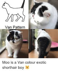 Short Hair Meme - van pattern moo is a van colour exotic shorthair boy meme on