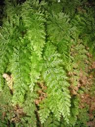 native plants of indiana appalachian bristle fern