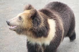 bears of the himalayan mountains