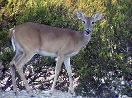 Rhode Island wildlife images Deer reduction hunt successful on block island rhode island jpg
