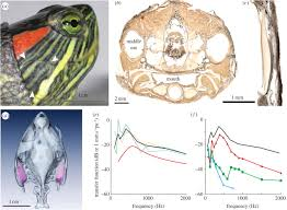 Anatomy And Physiology Ear Specialization For Underwater Hearing By The Tympanic Middle Ear
