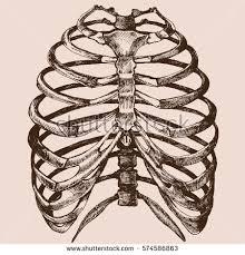 human rib cage vector stock vector 574586863