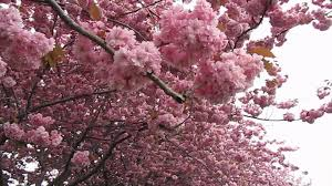 cherry blossoms 桜 櫻 さくら in canada youtube