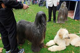 afghan hound judging list a dog u0027s show u2013 westside stories u2013 medium