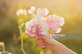 Sweet Pea Images Flower - sweetpea stock photos and pictures getty images