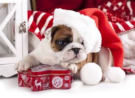 cute dog christmas wallpapers 345 best holiday bulldogs images on pinterest english bulldogs