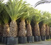 ornamental valencia palms and cycas
