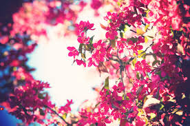 blooming flowers flowers bloom bokeh pink flowers free wallpaper