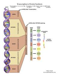 dna transcription and translation activity middle and up