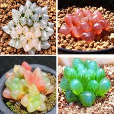 aliexpress buy 200pcs clear succulents