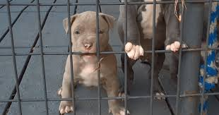 american pitbull terrier puppies for adoption pit bull rescue shelters and adoption resources
