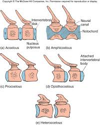 3d Human Anatomy Good Types Of Vertebrae 87 For 3d Human Anatomy With Types Of