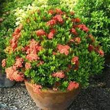ornamental plants in saharanpur uttar pradesh india indiamart