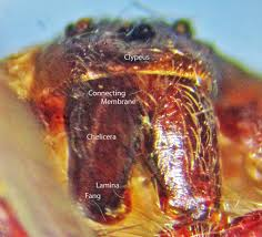 Male Spider Anatomy Brown Recluse Spider Anatomy Bugs In The News