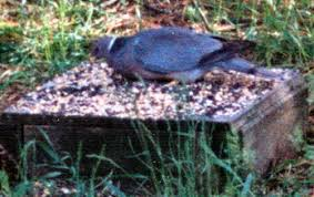 spokane audubon society feeding birds