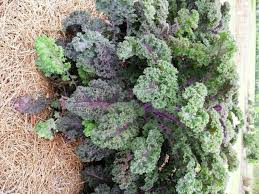 ornamental kale cabbage enhance cool season flower beds lsu