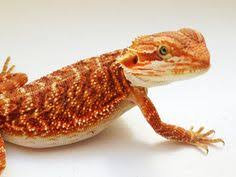 red bearded dragon incredible reptiles red bearded