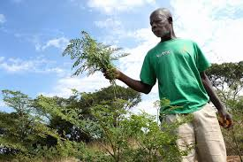 the wonders of the moringa tree greenpop