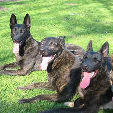 belgian sheepdog varieties saved by dogs continental shepherds dutch shepherds