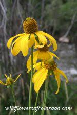 State Flower Of Colorado - wildflowers of colorado