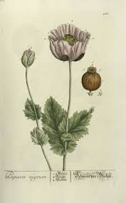 Opium Best 25 Opium Plant Ideas Only On Pinterest Opium Seeds Wild