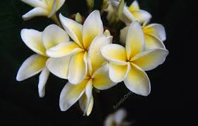 plumeria flower yellow and white plumeria flowers kauai hawaii scenicoregon