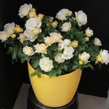 white roses for sale best 25 drift roses ideas on ground cover roses