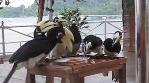 hornbill feeding time at pangkor sea view resort youtube