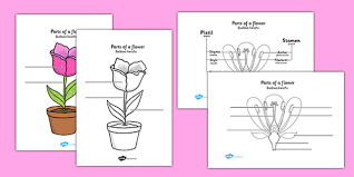 parts of a plant and flower labelling worksheet polish
