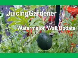 Growing Melons On A Trellis My Watermelon Wall Update Growing Watermelons Vertically On A