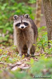 Raccoons In Backyard 91 Best Raccoons Images On Pinterest Animals Racoon And Wild