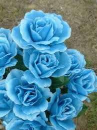 Teal Roses Winter Rose A Wiki Of Ice And Fire
